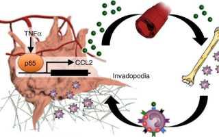 Клетки крови участвуют в распространении рака